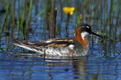 Female Red-necked Phalarope.