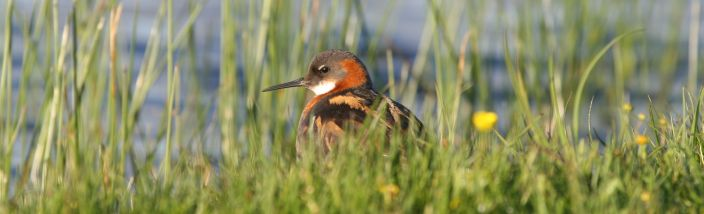 A Phalarope among the grass